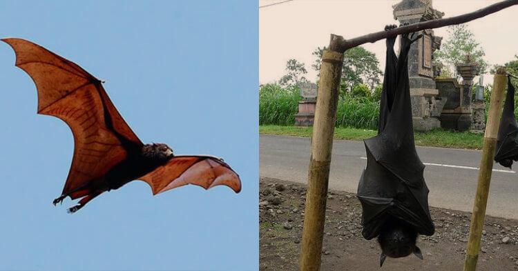Escalofriantes Imágenes de Murciélago Gigante Causan Asombro en las Redes Sociales