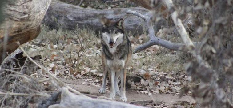 Envían desde Estados Unidos a México lobos en peligro de extinción